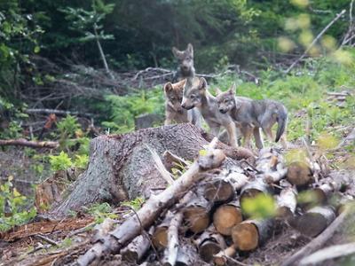 Výskyt vlků v Českém ráji budou prověřovat proškolení dobrovolníci