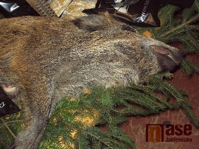 Liberecký kraj žádá občany, aby hlásili nález uhynulých prasat divokých