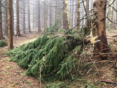 Pojďte s pilou do krkonošského lesa na dříví