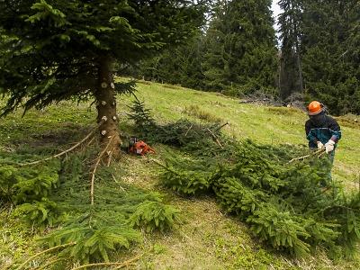 Proč kácí vybrané dřeviny na krkonošských loukách?