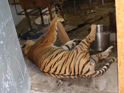 Celníci a inspektoři odhalili obchod s tygry. Probíhal i v Libereckém kraji