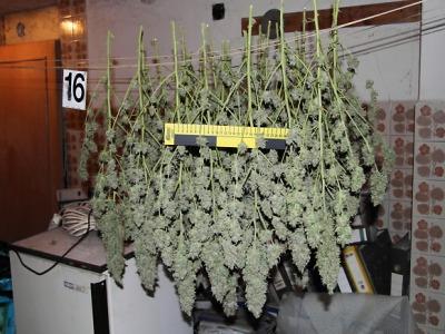 Policisté našli velkou pěstírnu marihuany ve Svijanském Újezdu