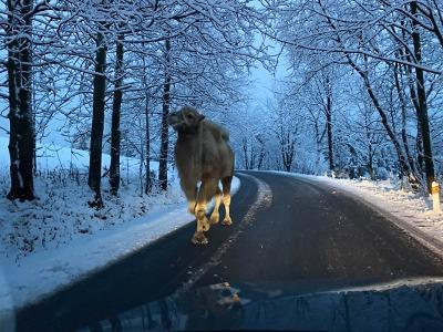 Neobvyklým turistou po zasněžené silnici v Jizerkách byl velbloud