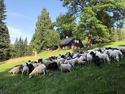 Pastva – spása pro krkonošské louky