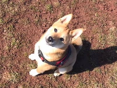 Hledá se půlroční štěně Bailey, které uteklo v Semilech