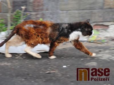 Policisté pátrali v Semilech po tygrovi. Vyklubala se z něj statná kočka