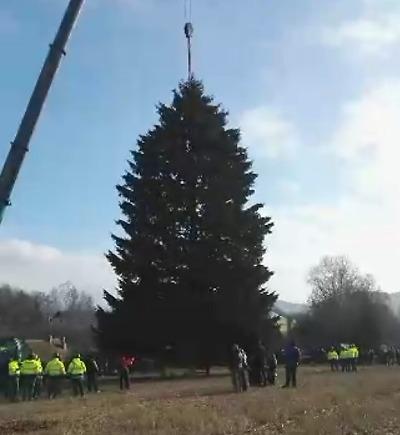 Vánoční strom v Rynolticích pokácen. Transport zamíří do Prahy