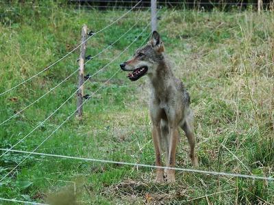 Mladá vlčice se nemohla dostat z ohrady na Vrchlabsku