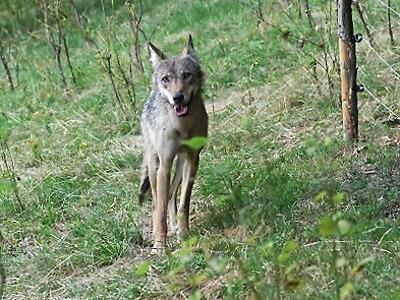 Vlčice putuje do Safari Parku Dvůr Králové nad Labem