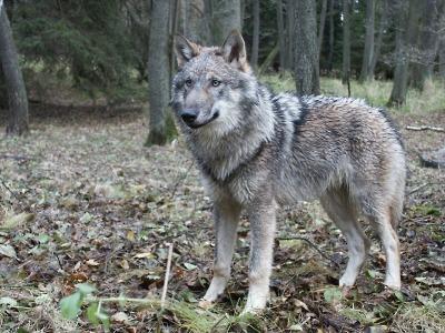 Liberecký kraj nahrazuje škody způsobené vlkem