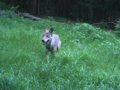 Vlk zapózoval před krkonošskou fotopastí