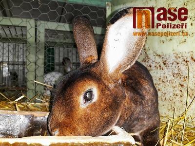 FOTO: Chovatelé z Turnova vystavovali králíky a holuby