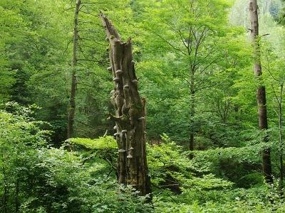 Na mrtvém dřevě stojí živý les