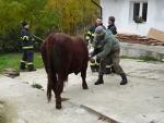 Toreadoři nebo kovbojové? Býka dokážou zkrotit i turnovští hasiči