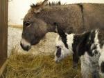 V děčínské zoo vypuknul oslí babyboom