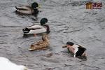 FOTO: Kry a ledy tají, kachnám to nevadí