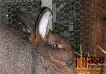 Výstava králíků a holubů V chovatelské hale u železniční zastávky Turnov město