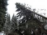 Spadlé stromy v Blíževedlech na Českolipsku