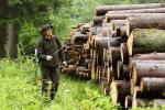 Lesníci bojují s kůrovcem i v Krkonoších