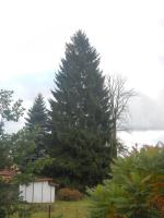 Vánoční strom vybraný v Semilech