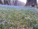 Frýdlant - kvetoucí ladonky
