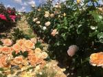 Růže Pelcovi
